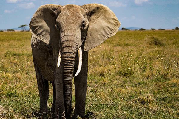 zookeeping technique - elephant