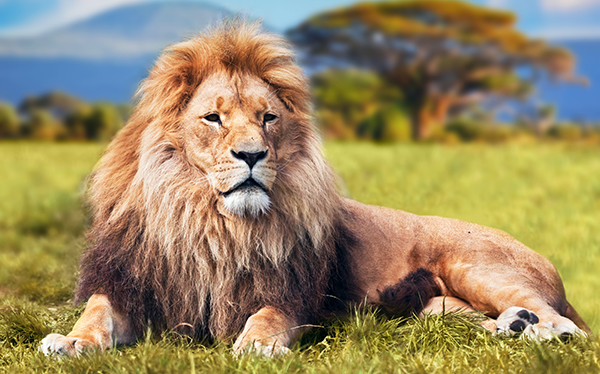 zookeeping technique - lion